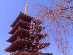 五重塔と枝垂桜