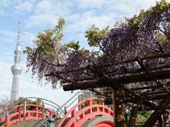 スカイツリーと亀戸天神の藤の花