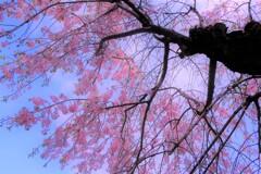 日本庭園の枝垂れ桜