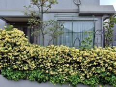 モッコウバラの咲く館