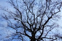 日比谷公園のシンボルツリー
