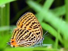 裏波赤小灰蝶