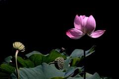 弁天池の蓮