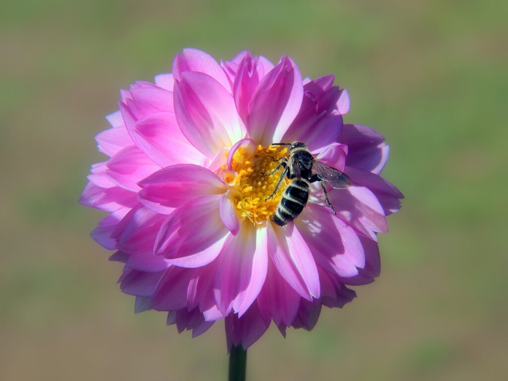ダリアと蜂