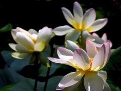 ひょうたん池の蓮