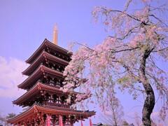 高幡不動の桜