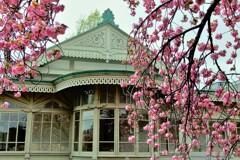 旧洋館御休所の桜