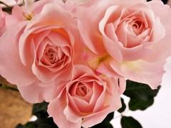房咲き1等 花ぼんぼり