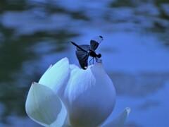 蓮と蝶蜻蛉