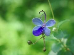 蝶に似た花