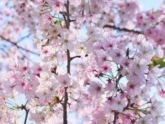 華やかに咲く