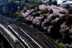 飛鳥山の桜とE7系