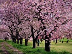 千曲川堤桜