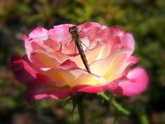 薔薇と蜻蛉