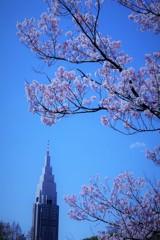 高遠小彼岸桜とドコモタワー