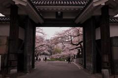 田安門の桜