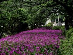 隅田川河畔の紫蘭群生