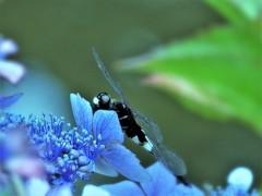 紫陽花とコシアキトンボ