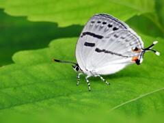 水色尾長小灰蝶