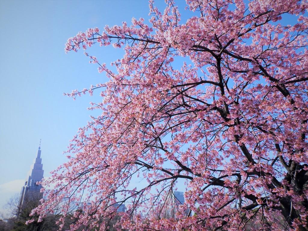 修善寺寒桜とドコモタワー