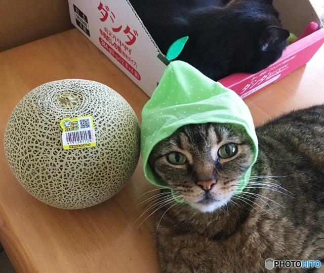 カール アメリカン いつまでも子猫みたい!アメリカンカールは遊び好きで人懐こい中型猫|猫|趣味時間