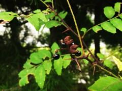 秋深し 山椒の実