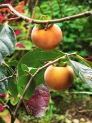 秋深し 柿の実