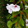 胴咲きの若葉