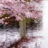 桜色に染める