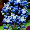 青いつぼみ
