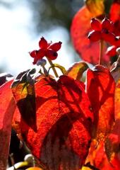 花水木の実