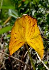 慈姑の黄葉