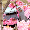 桜に埋もれ
