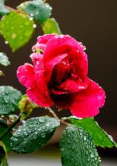 薔薇と真珠