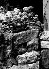 石垣に咲く
