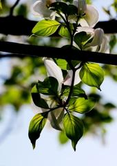 新緑の葉脈
