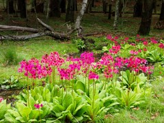 林の中に九輪草