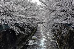 伝右川の桜 1
