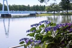 涼しげな紫陽花