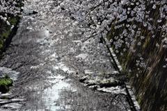 伝右川の桜 2