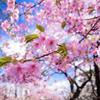 白い雲と寒桜