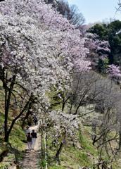 桜の樹の下で…