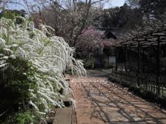 本土寺の雪柳