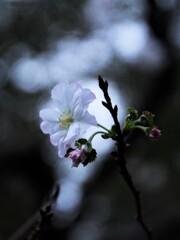 9月の十月桜