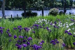 水辺の花しょうぶ 2