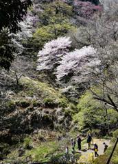 二本の大きな桜