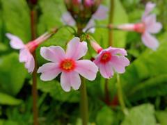 ピンクの九輪草