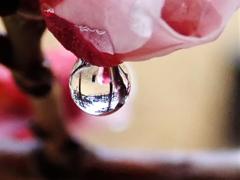梅と水滴 2