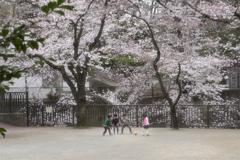 音無川桜ロード 4