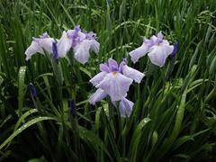 薄紫の花しょうぶ